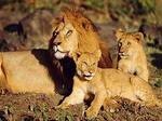 Львы в Крыму. Во время поездки в сафари парк